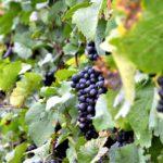 Pochod slováckými vinohrady 2016